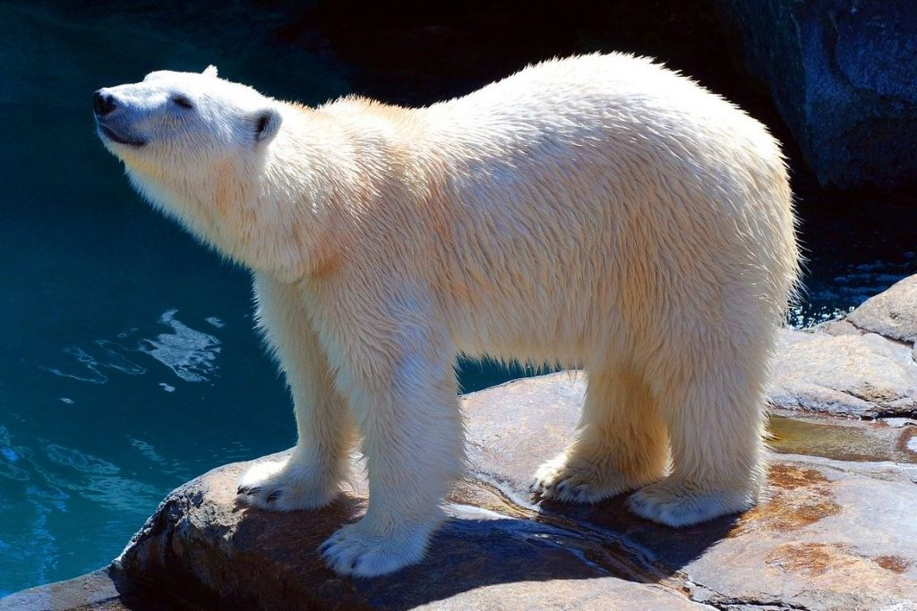 Polar bear stands in zoo enclosure.